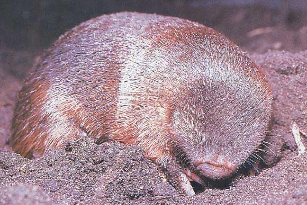 L'unico mammifero iridescente è cieco e vive sotto terra