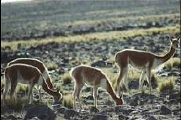 La nonna dell'alpaca