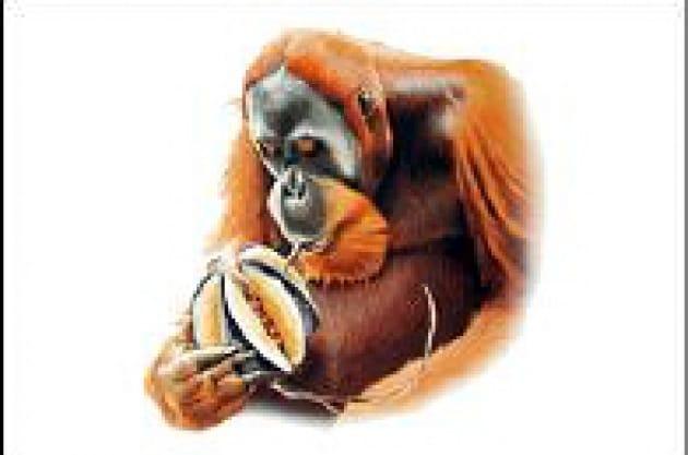 Una cultura da oranghi