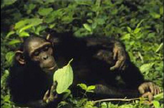 I killer delle scimmie africane