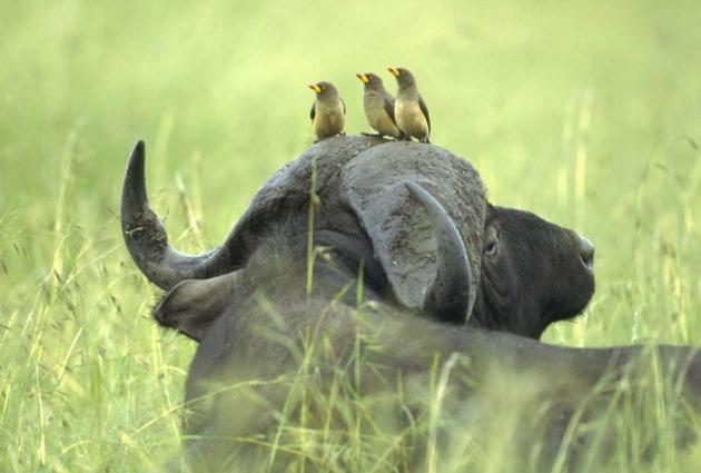 Perché alcuni animali hanno le corna?