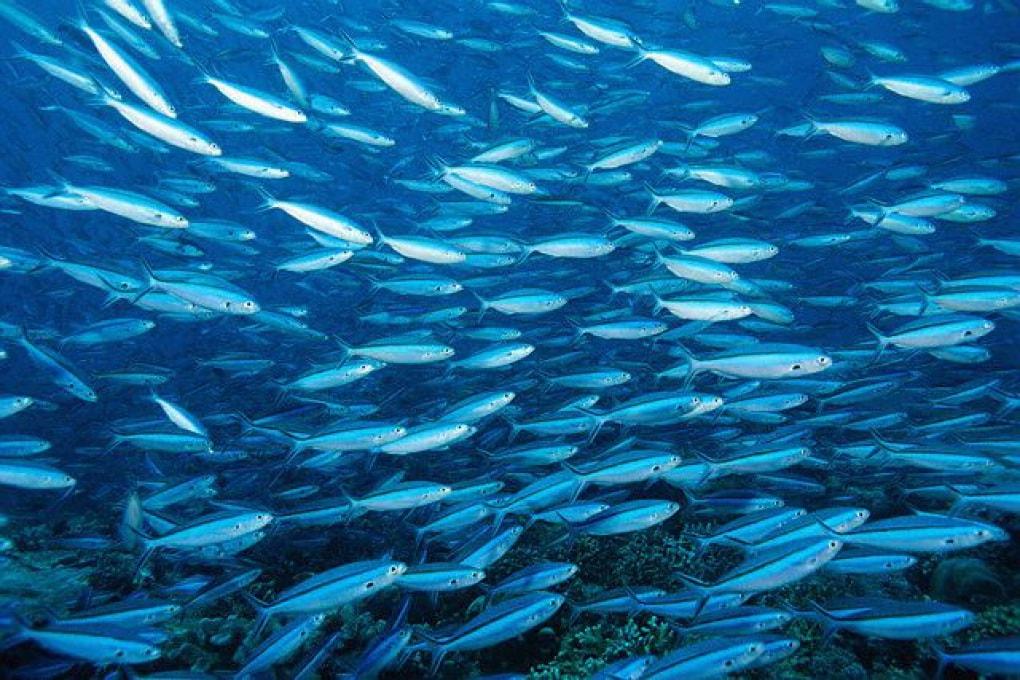 È vero che i pesci si stanno rimpicciolendo?