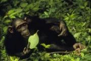 spl_z912028-chimpanzee