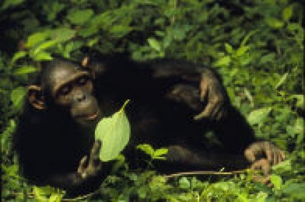 Scimpanzé ladri per amore