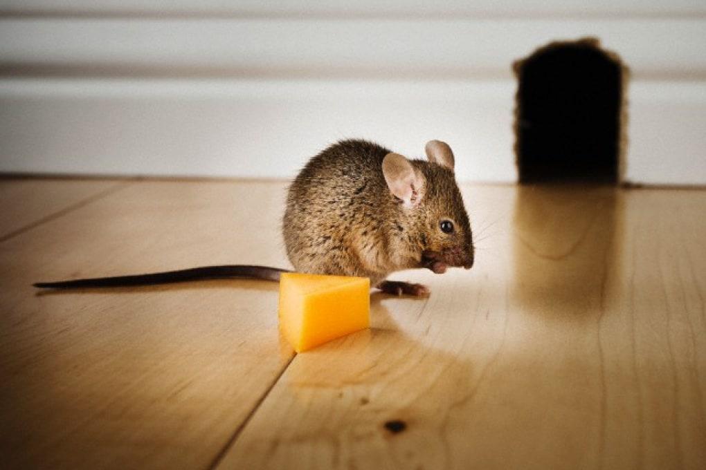 È vero che i topi amano il formaggio, le scimmie sono dispettose e gli struzzi vigliacchi?