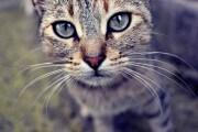 gattoo