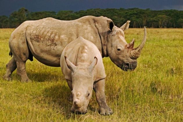 L'anno nero dei rinoceronti sudafricani