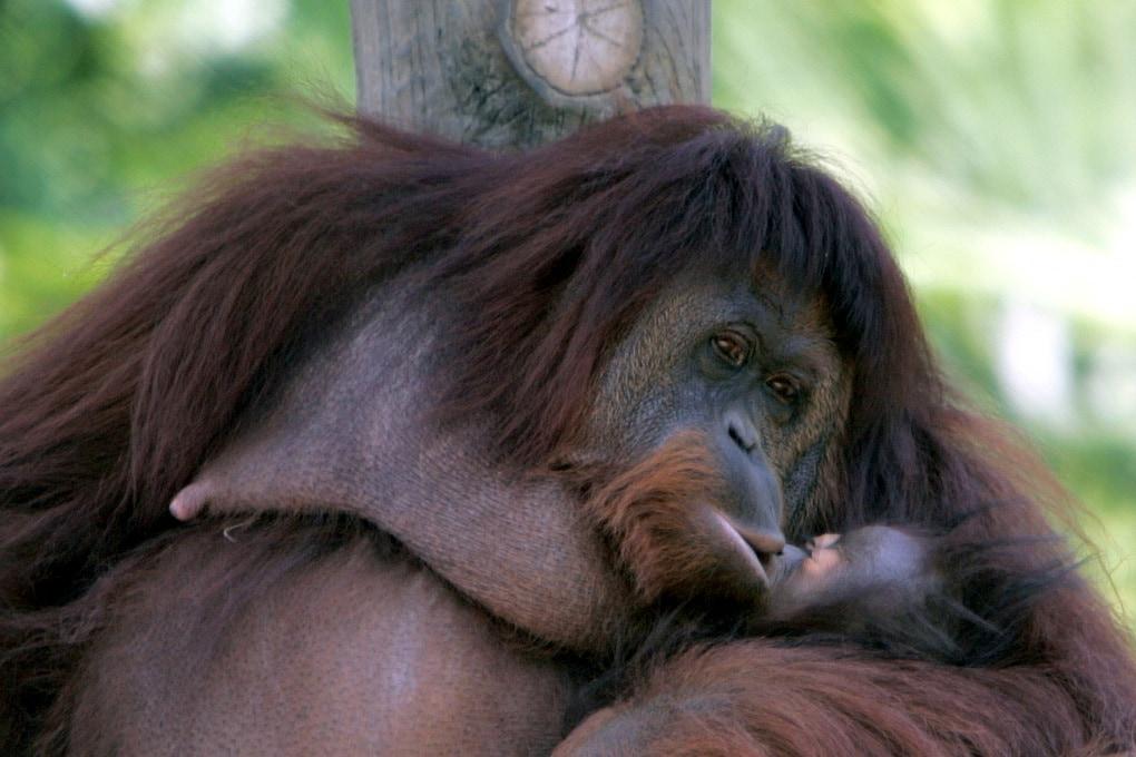 Le scimmie si baciano sulla bocca?