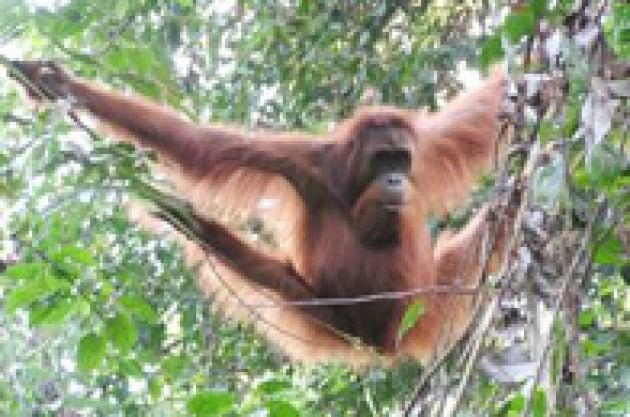I risparmi acrobatici dell'orango