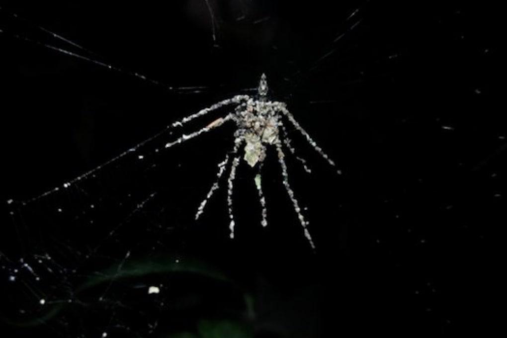 Il ragno che costruisce un falso ragno per ingannare i predatori
