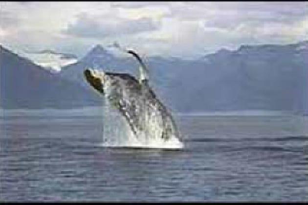 Quante sono le specie di balene?