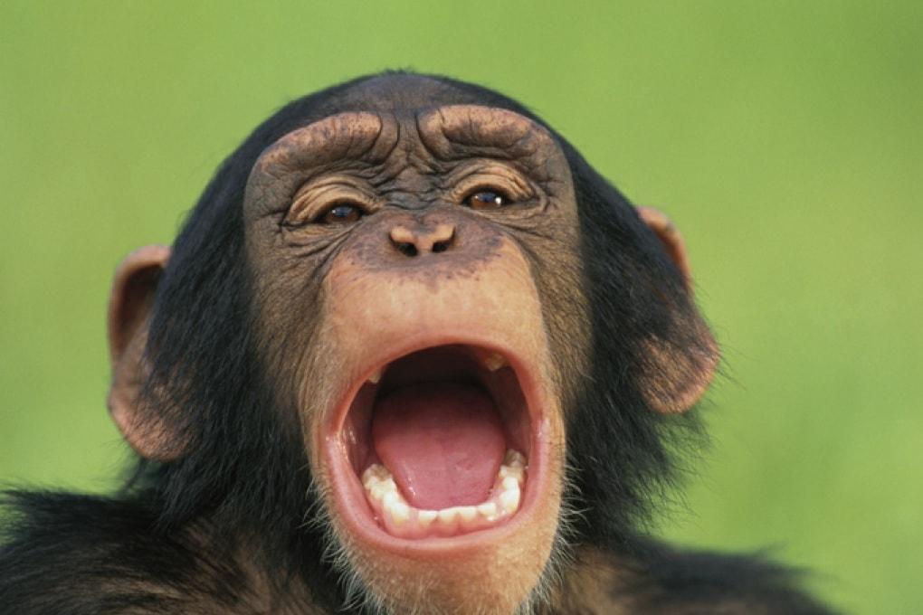 Il maschio alfa? Gli scimpanzé gli sbadigliano in faccia