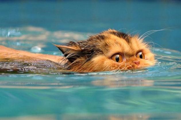 Non è vero che i gatti odiano l'acqua