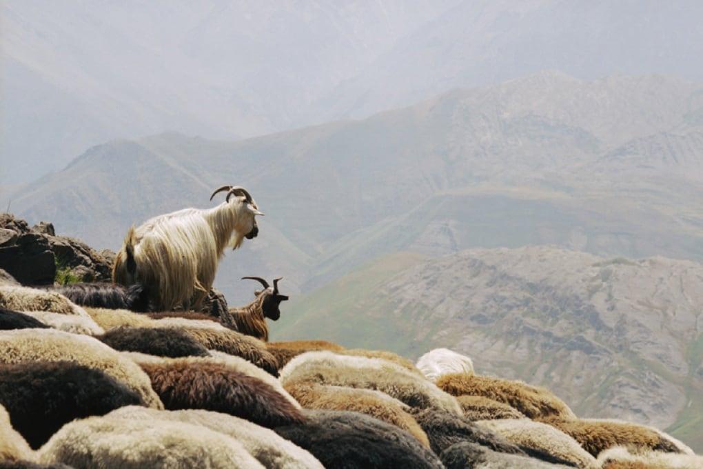 Anche le capre imparano un accento