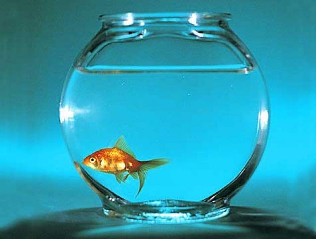 Di quanta acqua ha bisogno un pesce rosso?