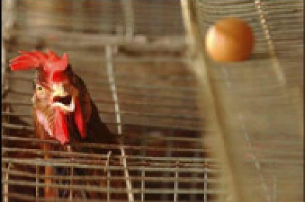 Allarme influenza dei polli: cosa sta succedendo?