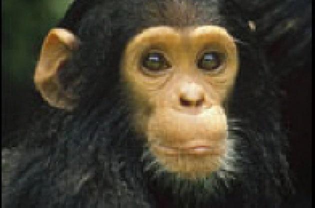 Lo scimpanzé che pensa solo a sé