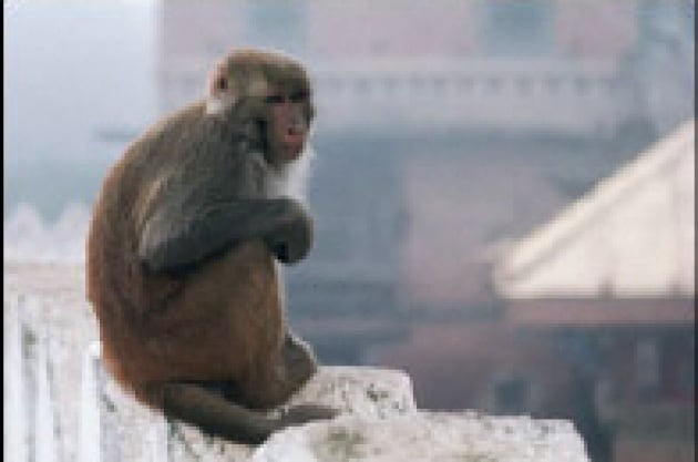 Il tam tam delle scimmie