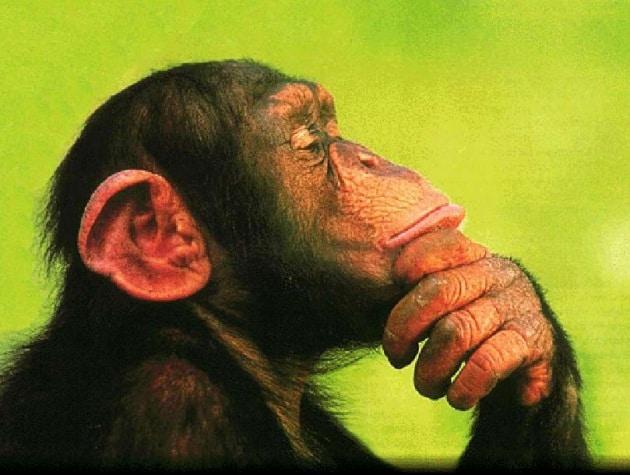 La medicina (molto) naturale degli scimpanzé