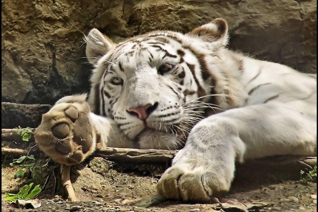 Quante tigri sono rimaste?