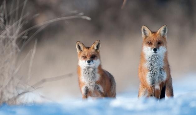 Nella tana della volpe