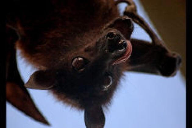 Un pipistrello per amico