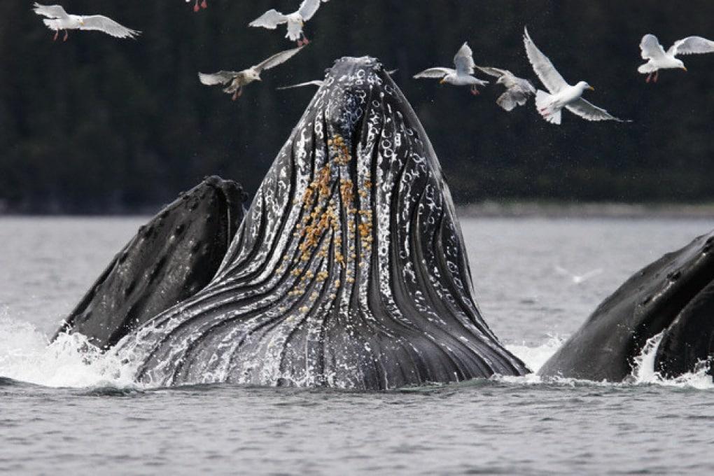 """Perché le balene hanno le """"croste""""... e i delfini no?"""