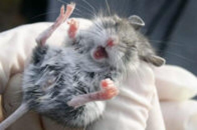 Il sesso estremo dei topi racconta qualcosa di noi - Fare sesso nel letto ...