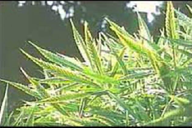 impotenza di marijuana