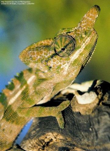 Il camaleonte bamboccione. Condannato dal clima?