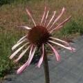echinacea_angustifolia_800
