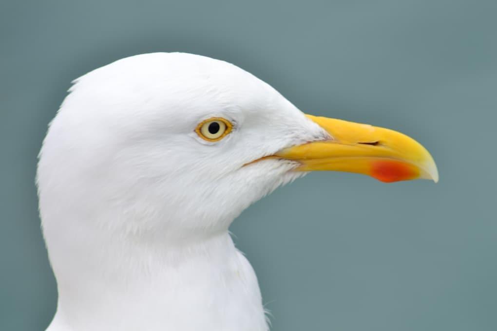 Perché gli uccelli muovono la testa avanti e indietro?