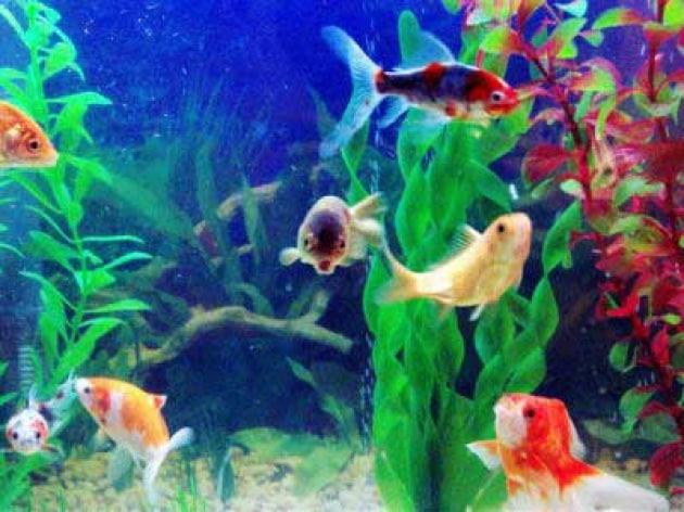 Quanto vivono i pesci rossi e quante variet esistono for Vaschetta pesci rossi offerte