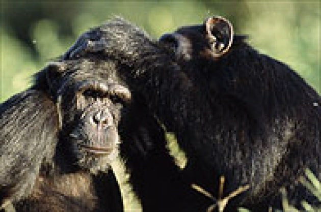 Usanze da scimmie