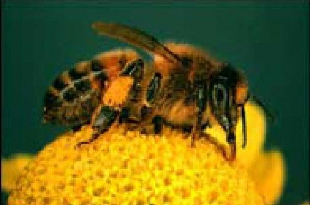 Le api ricordano con l'odore