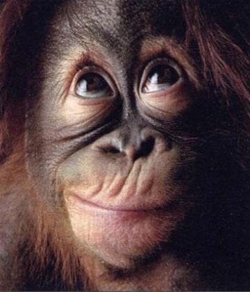 Scimmie che giocano per resistere alle tentazioni di gola