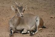 spanish-ibex