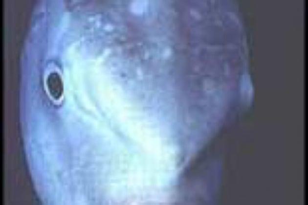 Che cosa è la Mola mola?