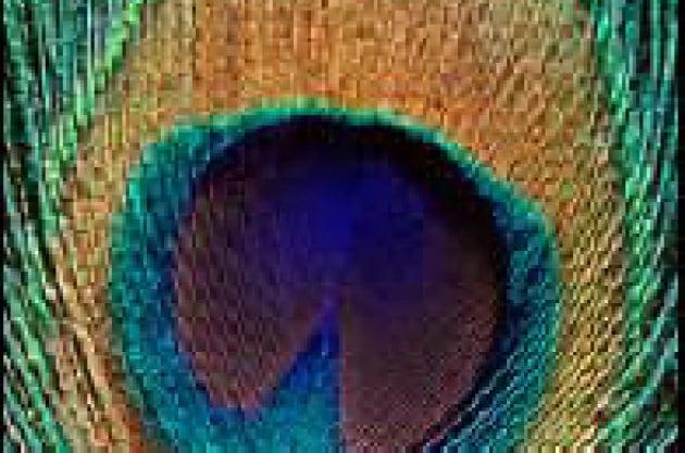 Pavone in technicolor - Immagini pavone a colori ...