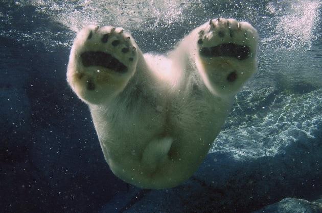 Di che colore è la pelle dell'orso bianco?