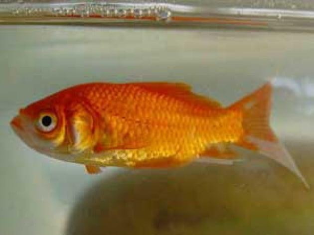 È vero che i pesci rossi sono stupidi?