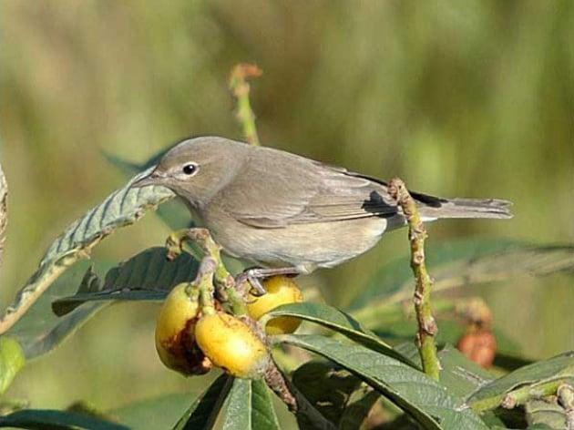 Gli uccelli migratori vedono il nord magnetico