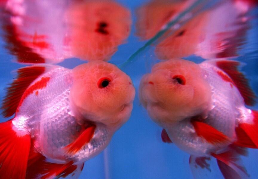 Il mondo a specchio for Pesce oranda