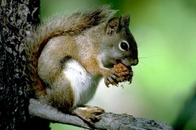 Gli scoiattoli prevedono  il futuro?