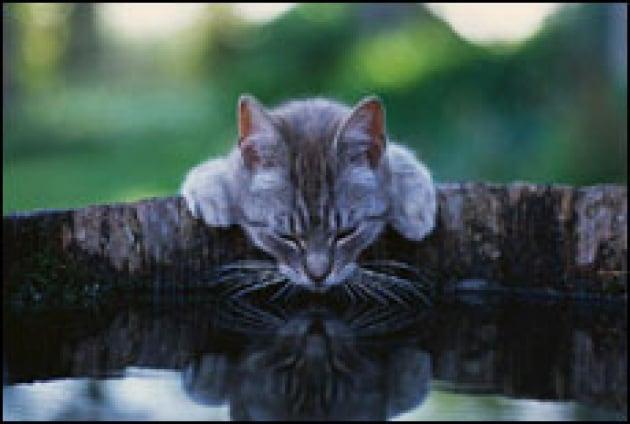 I gatti sanno nuotare?