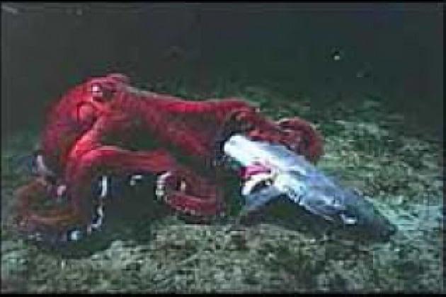 Quali dimensioni ha il calamaro gigante?