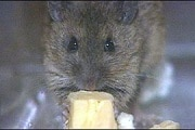 _573540_mouse_cheese300
