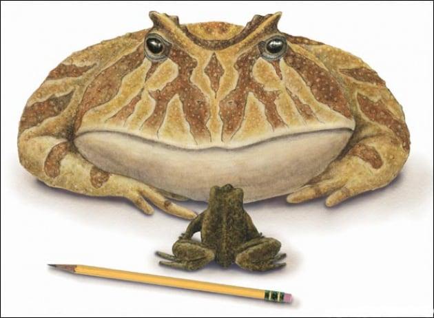 Un bestione di rana