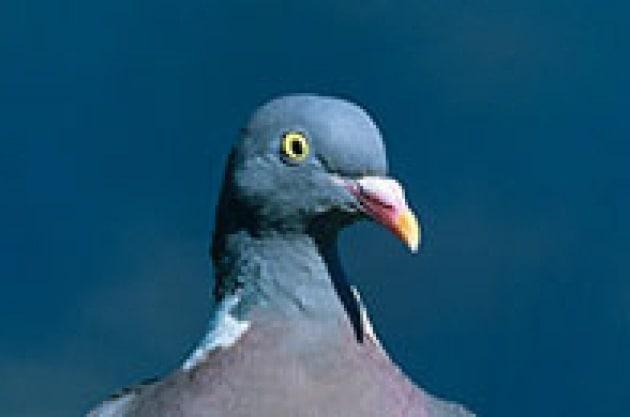 piccione-small