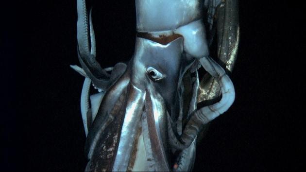 Il primo filmato di un calamaro gigante nel suo habitat naturale